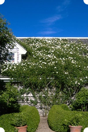 Nantucket cottage with roses are a distinctive Nantucket grden design feature